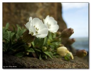 rock-flower